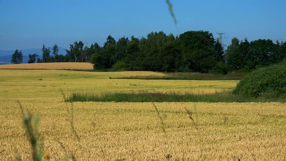 Thumbnail for Nature - Field with Plants (Wheat) and Trees - Sunny Day (Blue Sky) - Closeup