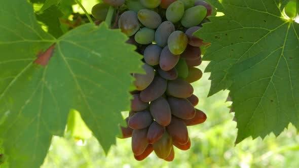 Thumbnail for Ripe Grapes