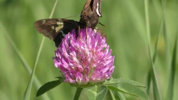 Skipper Adult Pair Eating Feeding in Summer Pollinator in South Dakota