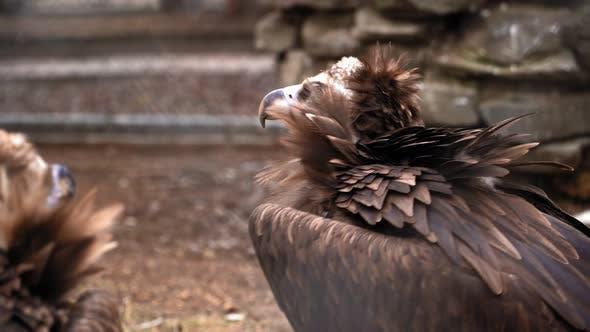 Un oiseau vautour brun avec un long bec derrière les barreaux au zoo