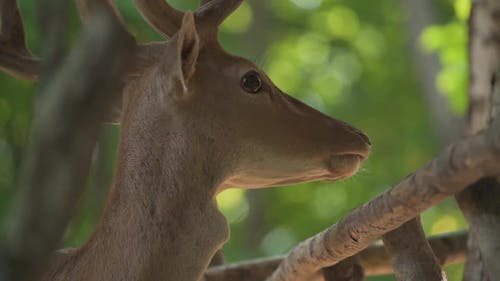 Elegant Deer with Brown Fur Chews Grass and Looks Around