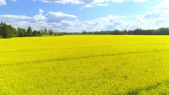 Thumbnail for Aerial Rapeseed Field Blooming