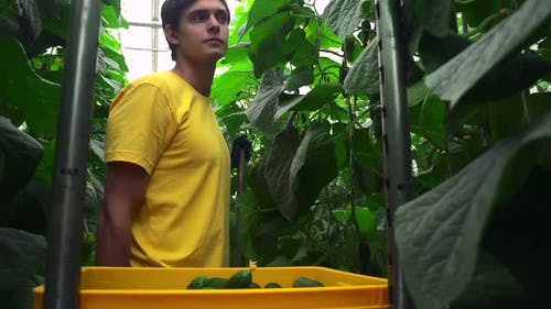 Hydroponic Greenhouse View of Man Harvesting Fresh Cucumbers During Working Day at Farm Spbd