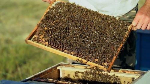 Beekeeper Examines Bees in Honeycombs