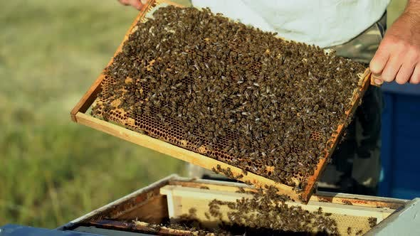 Thumbnail for Beekeeper Examines Bees in Honeycombs
