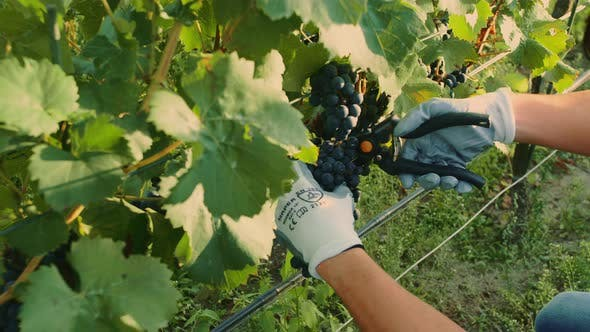 Thumbnail for Man Cutting Grapes During the Harvesting Process. Slow Motion