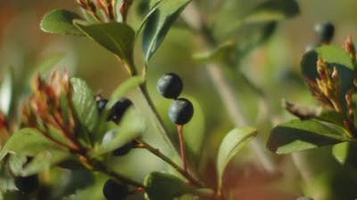 Wild berries with green leaves