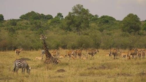 Common eland herd in Africa