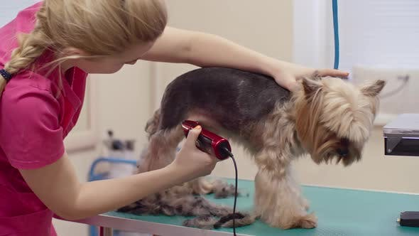 Thumbnail for Woman Trimming Yorkshire Terrier