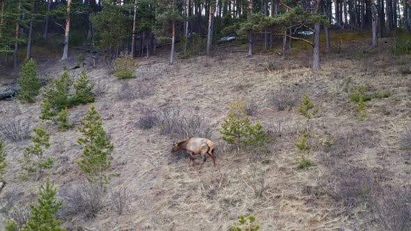 Drone Shot of Male Wild Maral Grazing in the Forest