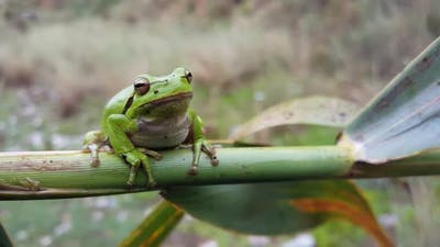The green tree frog