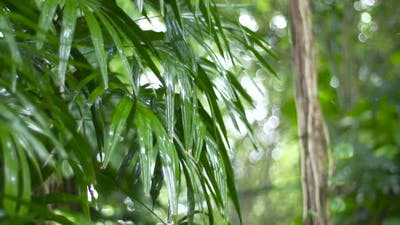 Rainfall on Tropical Leaves