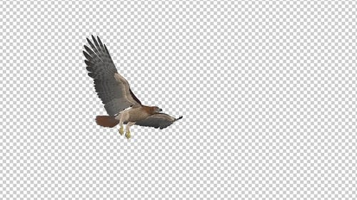Red Tail Hawk - 4K Flying Transition - II