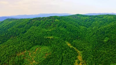 Drone Flies Above Coniferous Wood