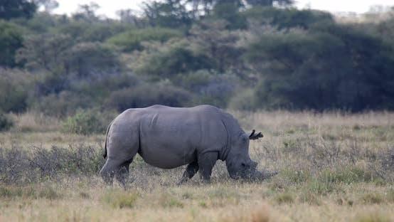 white rhinoceros Botswana, Africa wildlife