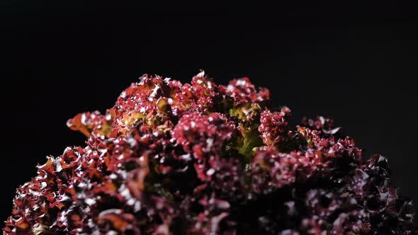Thumbnail for Delicious Fresh Red Lettuce Turns Around on Black Background