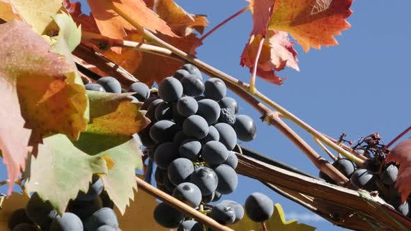 Vitis fruit against blue sky close-up 4K 2160p 30fps UltraHD footage - Colorful leaves and branches