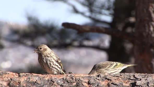 Pine Siskin Adult Pair Eating Feeding in Winter in South Dakota
