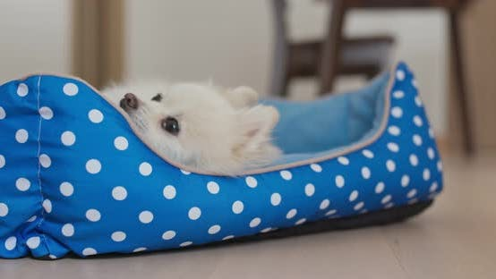 Thumbnail for Pomeranian Dog lying on bed at home