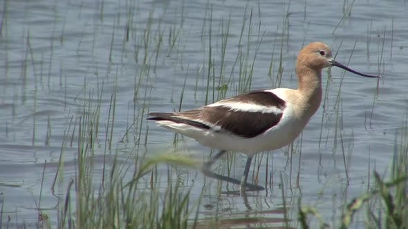 Thumbnail for Avocet Adult Lone Stretching in Summer in South Dakota