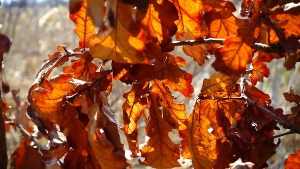 Thumbnail for Oak Leaves 2