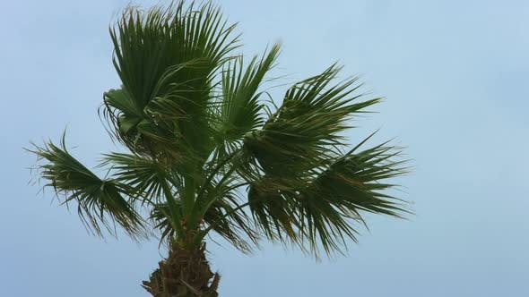 Thumbnail for Exotic Palm Tree Waving in Wind. Stormy Weather at Resort. Tropical Hurricane