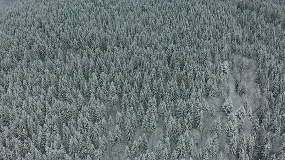 Thumbnail for Aerial Top Down Flyover Shot of Winter Spruce and Pine Forest. Trees Covered with Snow.