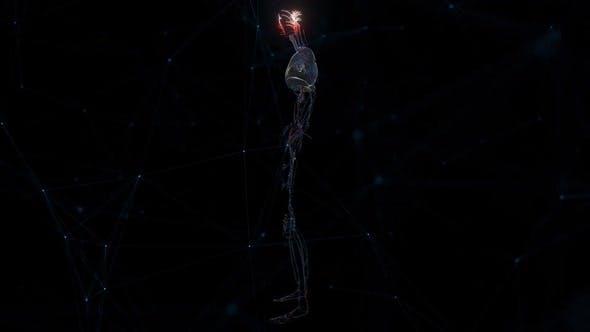 Cardio Vascular System Of Man Hd