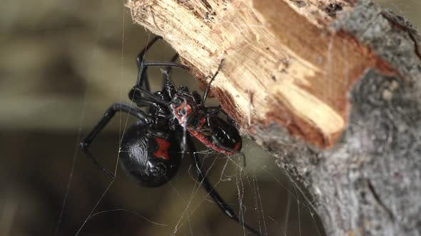 Thumbnail for Black Widow Spider wrapping Fire Beetle with web