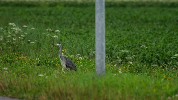 Cover Image for Grey Heron Standing in Field of Farmland