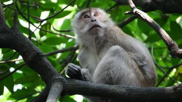 Monkey at mangrove tre