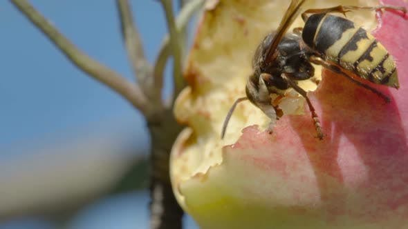 Thumbnail for Hornet Eats Red Apple