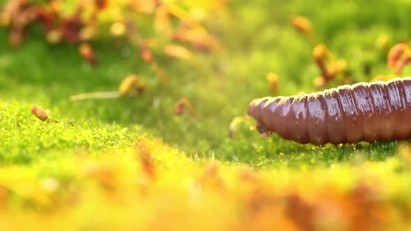 Thumbnail for An Earthworm Is a Terrestrial Invertebrate That Belongs To the Class Clitellata