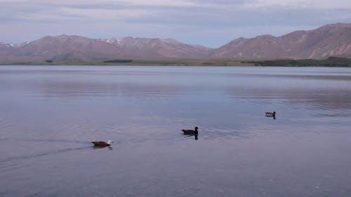 Panning shot three ducks swim
