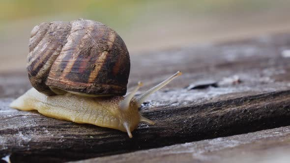 Thumbnail for One Snail on a Wooden Board in Our Garden