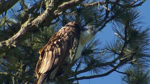 Osprey Adult Lone Perched in Spring Head Bob Turn Watching in South Dakota
