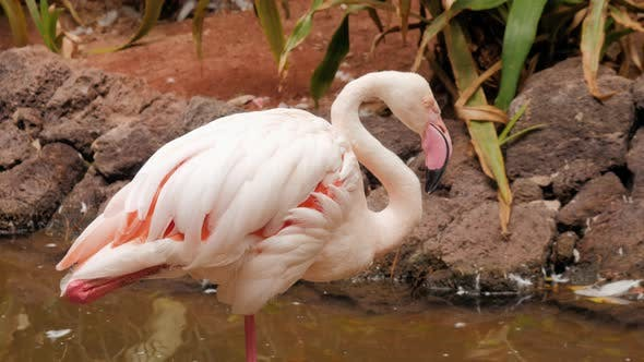 Thumbnail for Group Pink Caribbean Flamingo Goes on Water in National Park Wildlife. Pink Flamingo Goes on a Swamp