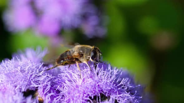 Thumbnail for Big Fly on the Ageratum Houstonianum