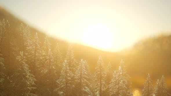 Thumbnail for Pine Forest on Sunrise with Warm Sunbeams