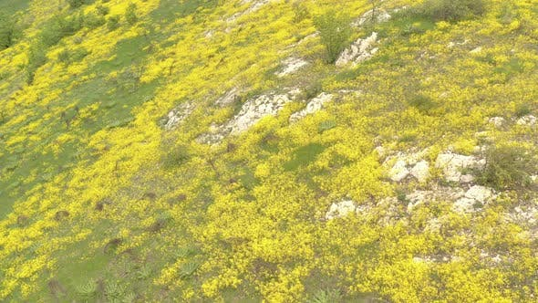Thumbnail for Field of blooming Golden alyssum Aurinia saxatilis flowers 4K aerial video