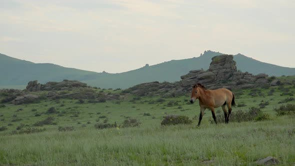 Thumbnail for Real Wild Przewalski's Horse in Natural Habitat