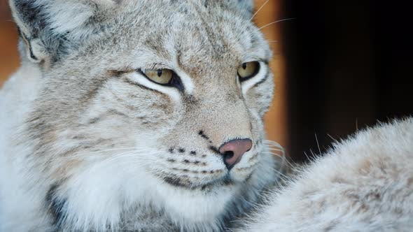 Thumbnail for Portrait of a Cougar, Face of a Predatory Cat