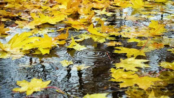 Rain Drops Falling At The Puddle With The Yellow Maple Leaves 2