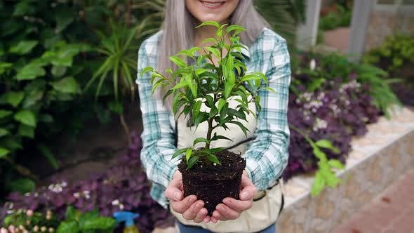Thumbnail for Senior Woman Sitting on Concrete Parapet in Greenhouse and Holding in Hands Ficus
