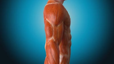 Muscle concept anatomy