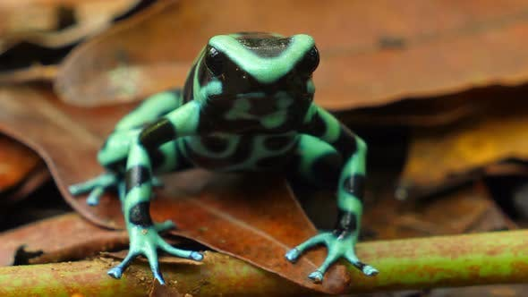 Cover Image for Green and Black Poison Dart Frog in its Natural Habitat in the Caribbean