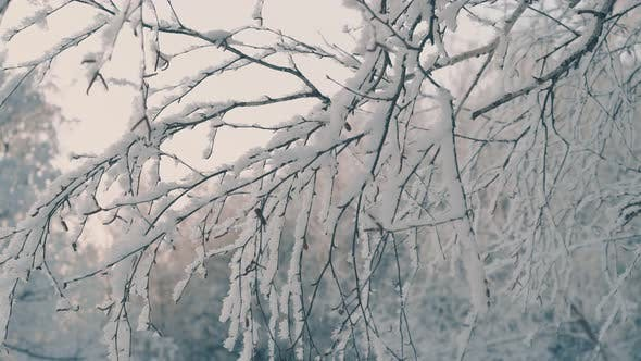 Thumbnail for Winter Garden with Trees Covered with Frost Against Sunrise