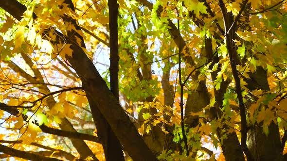 Thumbnail for A Large Tree With Many Branches And Colorful Leaves In The Fall