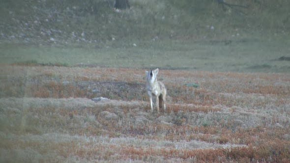 Cover Image for Coyote Adult Lone Calling Howling Barking Singing in Summer in South Dakota