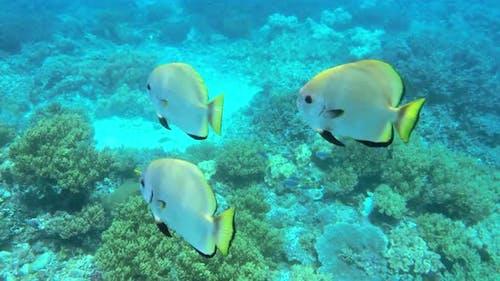 Underwater View Of Colorful Tropical Fish In Kri Island, Raja Ampat